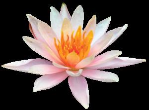 lotusblomstfrit2